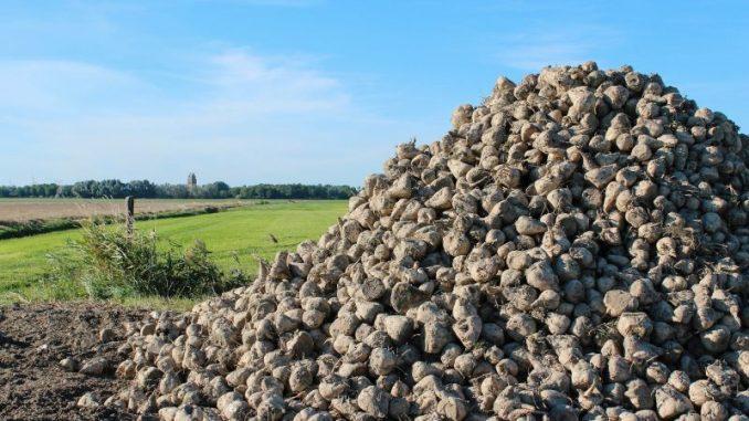 Nicht nur die Ernte ist bei den Zuckerrüben schwierig - Foto: pixabay