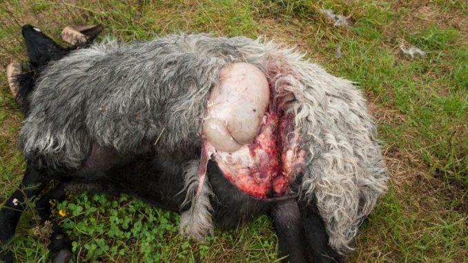 Fehlendes Wolfsmanagement verursacht tiefen Frust - Foto: Friesenborg