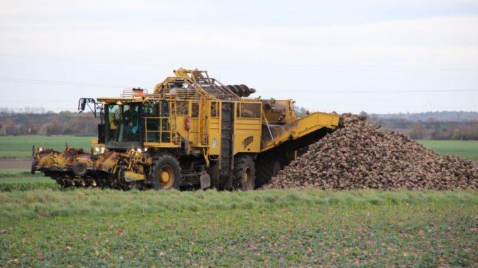 Rübenbauern enttäuscht von Zuckererträgen je Hek-tar - Foto: Landvolk