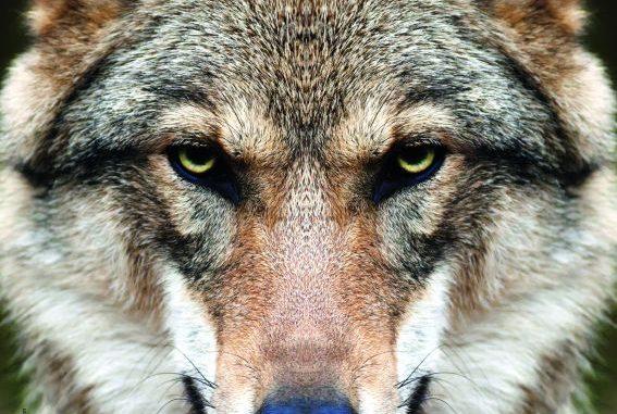Bei auffälligen Wölfen hilft nur die Entnahme -