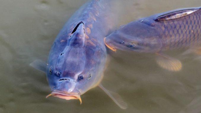 Den Wassermangel mochten die Karpfen nicht - Foto: pixabay