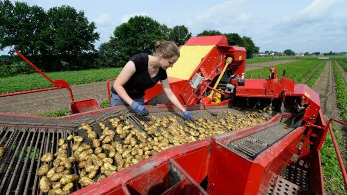Kartoffelernte auf historisch niedrigem Niveau - Foto: landpixel