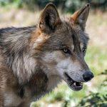 Wolf- Foto: pixabay