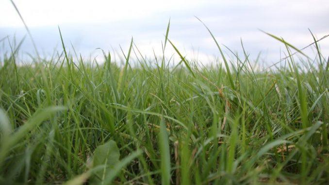 Spät im Jahr sind Wiesen und Weiden ergrünt - Foto: Landvolk