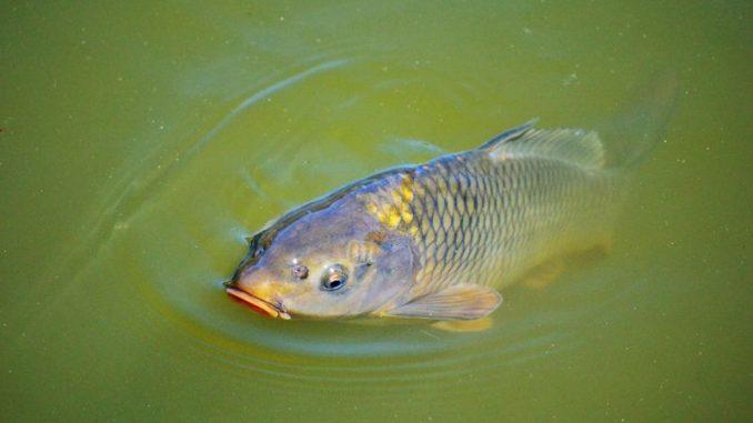 Karpfen ist der Festtagsfisch in Niedersachsen - Foto: pixabay