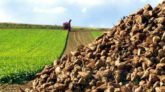 Zuckerrüben bleiben eine stabile Größe - Foto: Landvolk