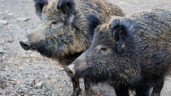 2018 wurden deutlich mehr Wildschweine geschossen - Foto: pixabay