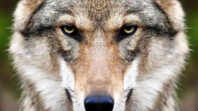 Wolfsmanagement muss den Abschuss beinhalten - Foto: andamanec / copyright: fotolia.com