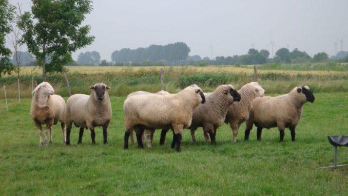 Schafe und Lämmer als Symbol des Lebens - Foto: Landvolk