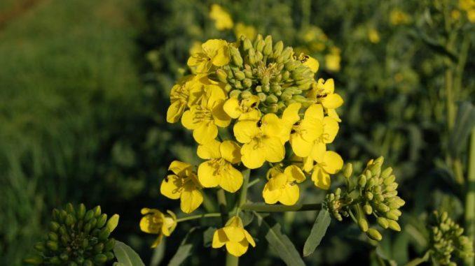 Rapsblüte auf kleinerer Fläche als in den Vorjahren - Foto: Landvolk