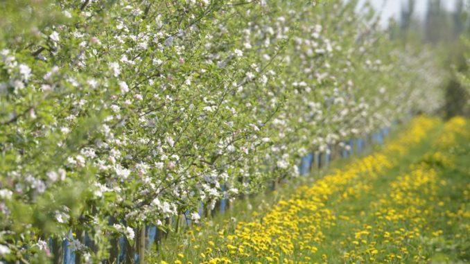 Obstbaumblüte passend zum Osterausflug - Foto: Landvolk