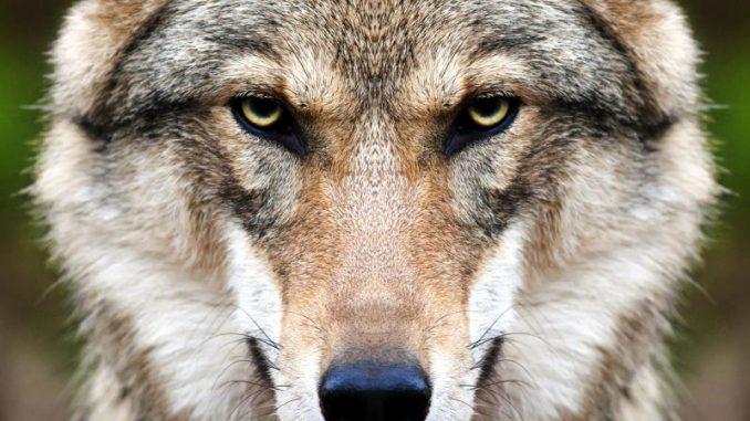 Gemeinsam für ein aktives Wolfsmanagement - Foto: andamanec / copyright: fotolia.com