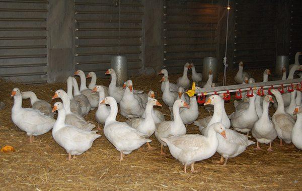 Geflügelhalter zu besonderer Vorsicht aufgerufen - Foto: Gabi von der Brelie