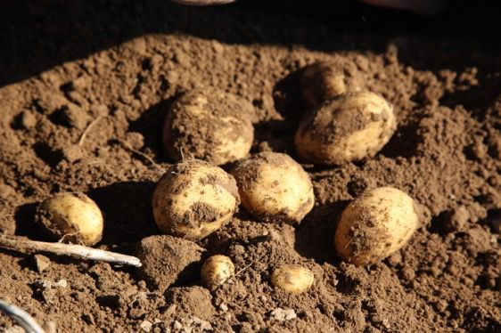 """Kartoffel ist das """"Nahrungsmittel der Zukunft"""" - Foto: Kartoffel Marketing GmbH"""