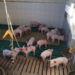 Lokalanästhesie ist praktikabler Tierschutz - Foto: Landvolk