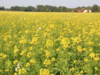Zwischenfrüchte können Futterlücken schließen - Foto: Landvolk