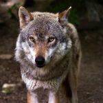 Wolf ist Wild: Aufklärung statt Verklärung - Foto: pixabay