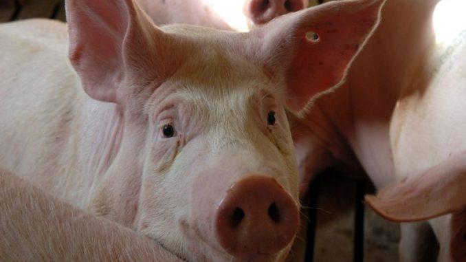 Schwein Foto: landpixel