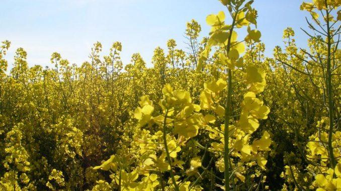 """Bienenschutz: Brüssel wird """"Neos"""" verbieten - Besonders der Rapsanbau ist betroffen"""