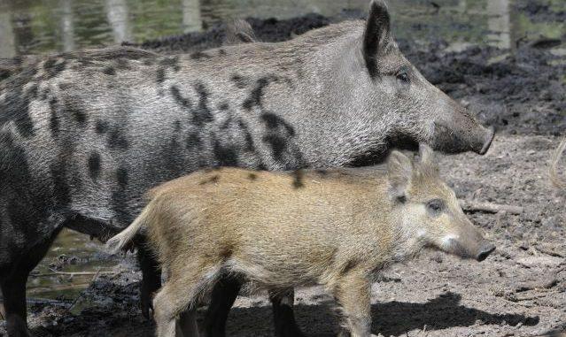 Afrikanische Schweinepest nun in Polen angekommen - Foto: landpixel