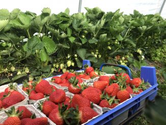 Erdbeeren in der Schale, Erdbeerplantage