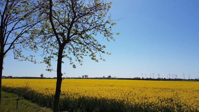 Rapsfeld in der Nähe von Hoya