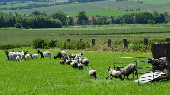 Weidetiere Schafe