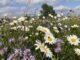 Blühstreifen