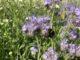 Insekten in einem Blühstreifen