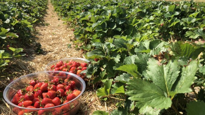 Erdbeerfeld zur Selbstpflücke