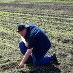 Fraßschäden durch Krähen im Mais