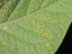 Läuse auf einem Kartoffelblatt